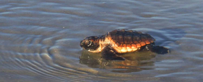 Loggerhead Turtle - Jessica Miller Photo - 2015
