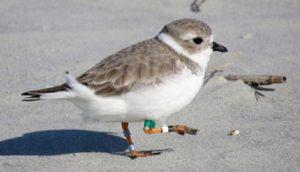 Shore-Bird-walking