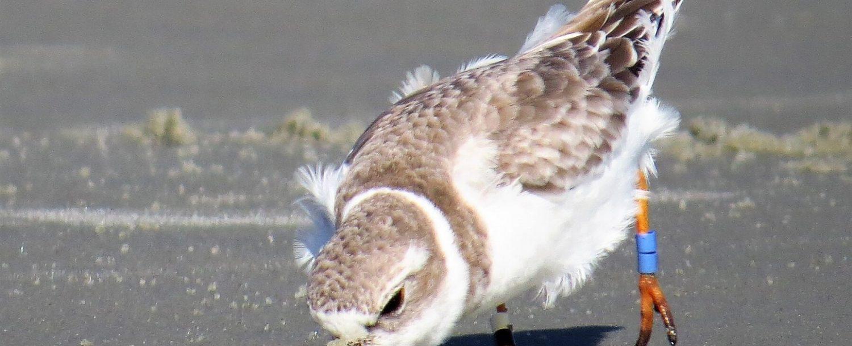 Shore-bird-digging