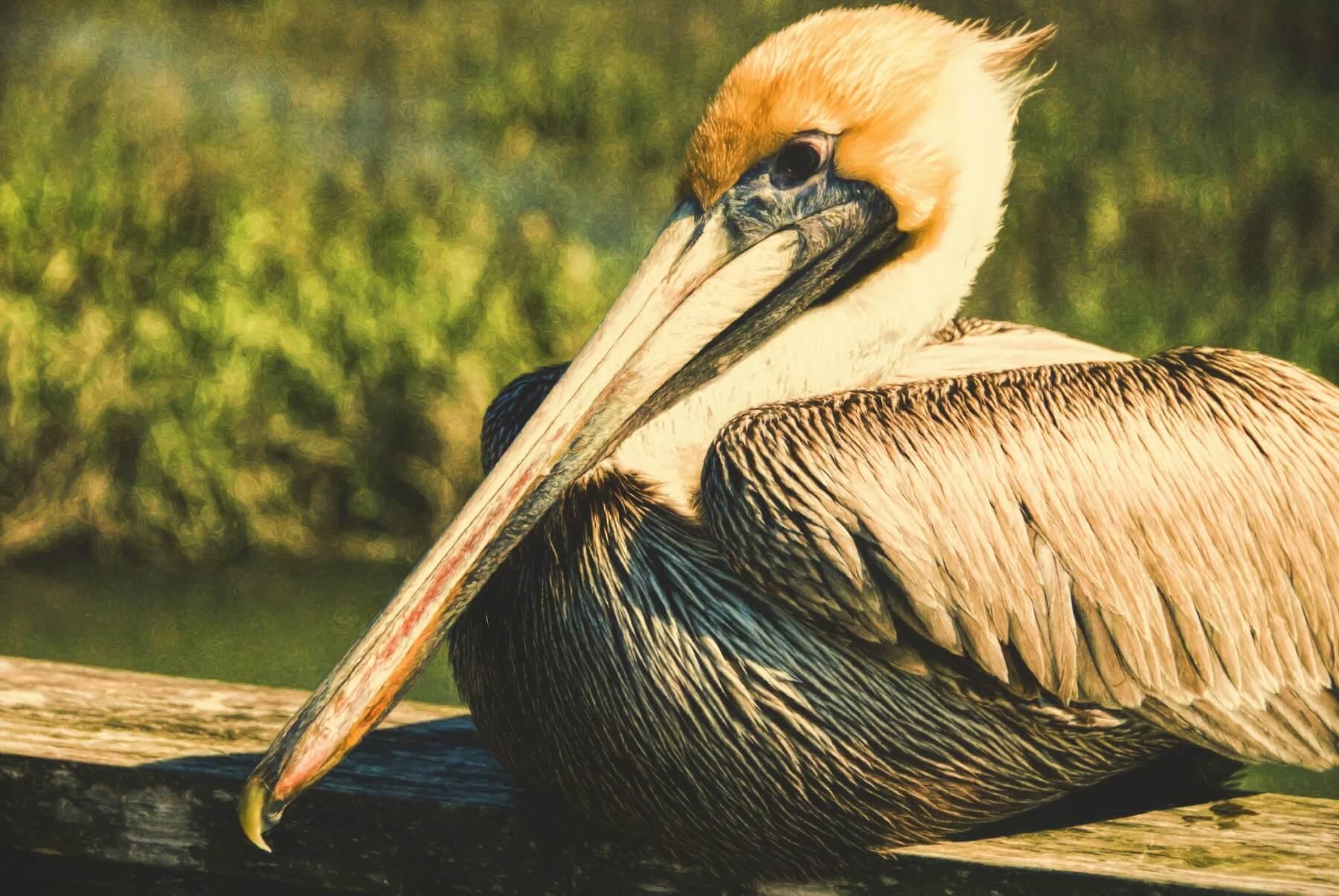 beach pelican fripp