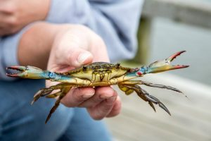 blue crab being held on the beach